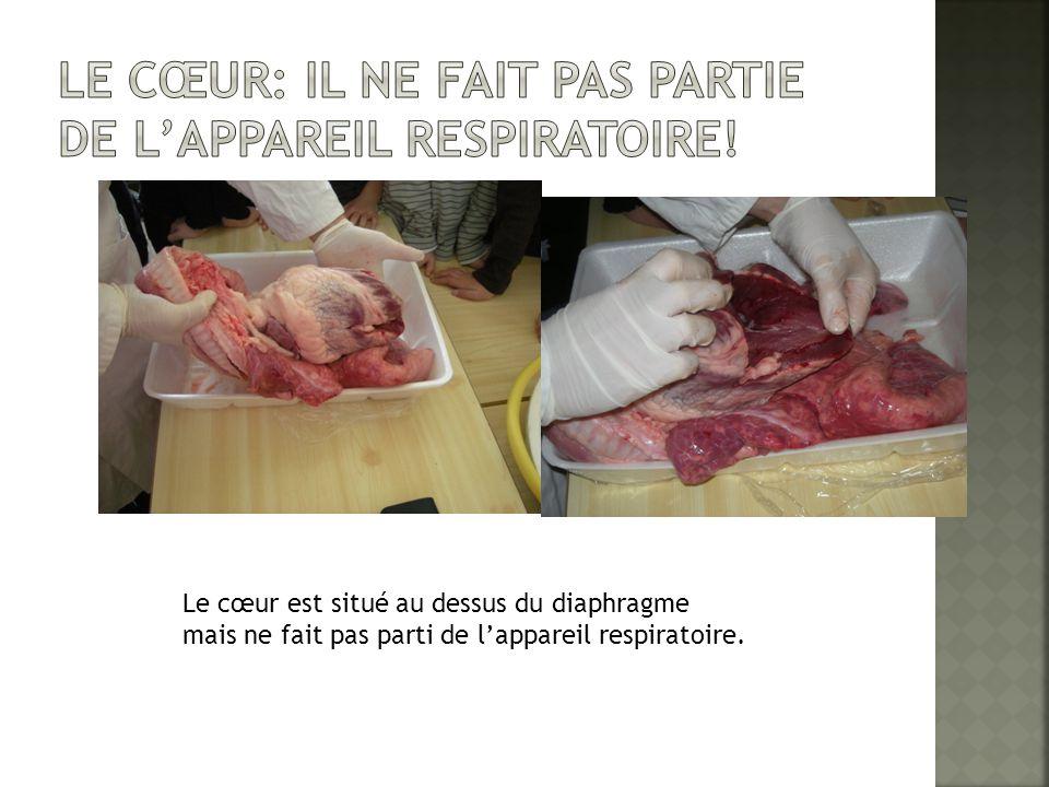 Le cœur est situé au dessus du diaphragme mais ne fait pas parti de l'appareil respiratoire.