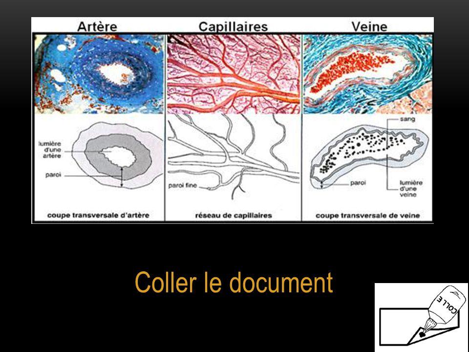 On distingue trois types de vaisseaux sanguins. Les artères qui apportent le sang aux organes.