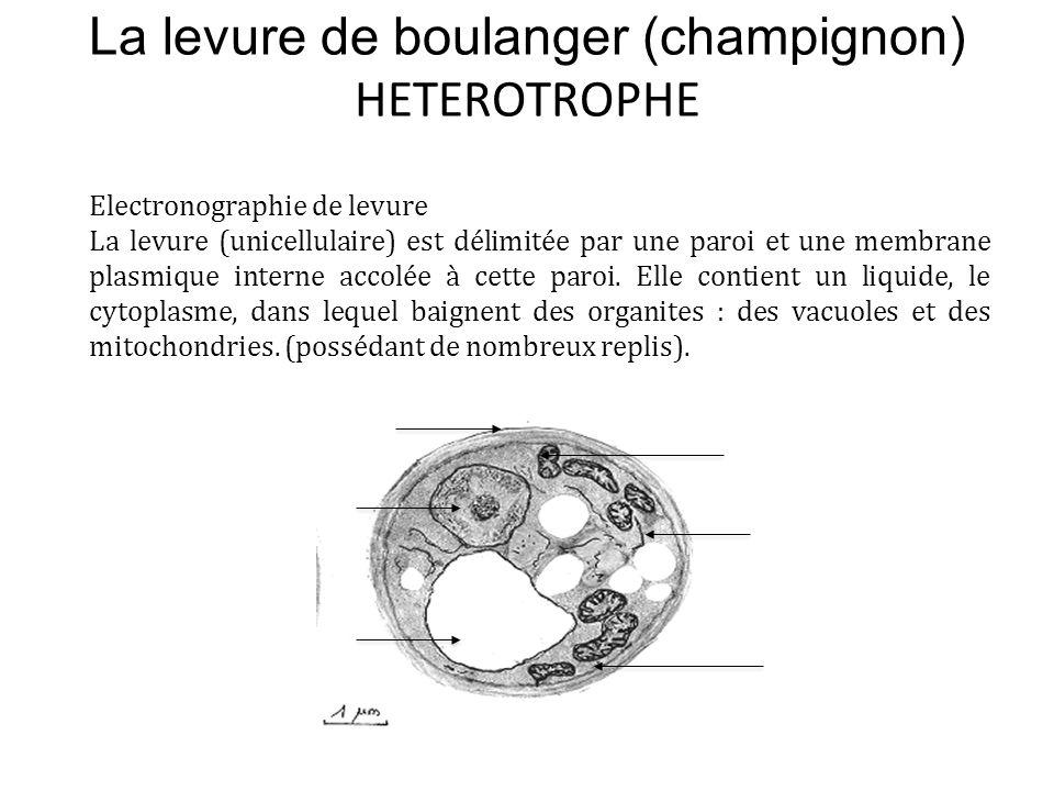 La levure de boulanger (champignon) HETEROTROPHE Electronographie de levure La levure (unicellulaire) est délimitée par une paroi et une membrane plas