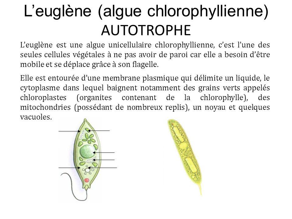 L'euglène (algue chlorophyllienne) AUTOTROPHE L'euglène est une algue unicellulaire chlorophyllienne, c'est l'une des seules cellules végétales à ne p