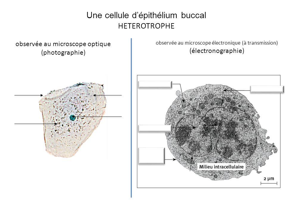 Une cellule d'épithélium buccal HETEROTROPHE observée au microscope optique (photographie) observée au microscope électronique (à transmission) (élect