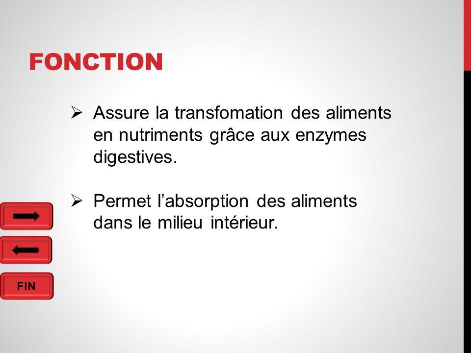 FIN FONCTION  Assure la transfomation des aliments en nutriments grâce aux enzymes digestives.
