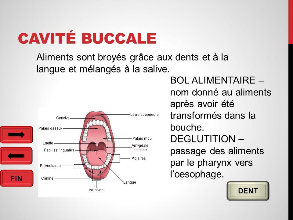 FIN CAVITÉ BUCCALE DENT Aliments sont broyés grâce aux dents et à la langue et mélangés à la salive.