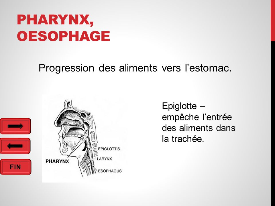 FIN PHARYNX, OESOPHAGE Progression des aliments vers l'estomac.