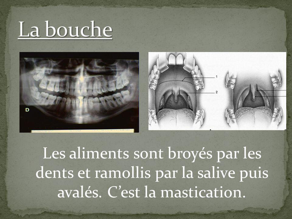 Les aliments sont broyés par les dents et ramollis par la salive puis avalés. C'est la mastication.