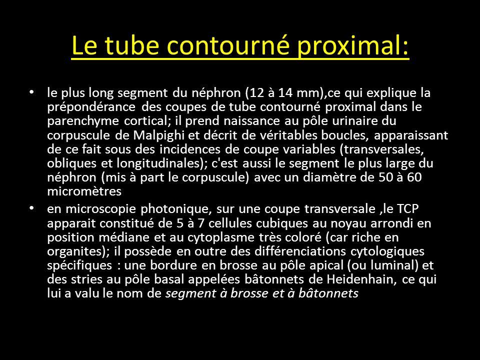 Le tube contourné proximal: le plus long segment du néphron (12 à 14 mm),ce qui explique la prépondérance des coupes de tube contourné proximal dans le parenchyme cortical; il prend naissance au pôle urinaire du corpuscule de Malpighi et décrit de véritables boucles, apparaissant de ce fait sous des incidences de coupe variables (transversales, obliques et longitudinales); c est aussi le segment le plus large du néphron (mis à part le corpuscule) avec un diamètre de 50 à 60 micromètres en microscopie photonique, sur une coupe transversale,le TCP apparait constitué de 5 à 7 cellules cubiques au noyau arrondi en position médiane et au cytoplasme très coloré (car riche en organites); il possède en outre des différenciations cytologiques spécifiques : une bordure en brosse au pôle apical (ou luminal) et des stries au pôle basal appelées bâtonnets de Heidenhain, ce qui lui a valu le nom de segment à brosse et à bâtonnets