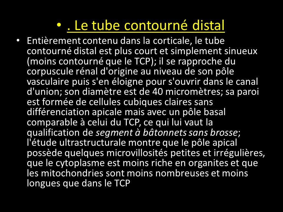 . Le tube contourné distal Entièrement contenu dans la corticale, le tube contourné distal est plus court et simplement sinueux (moins contourné que le TCP); il se rapproche du corpuscule rénal d origine au niveau de son pôle vasculaire puis s en éloigne pour s ouvrir dans le canal d union; son diamètre est de 40 micromètres; sa paroi est formée de cellules cubiques claires sans différenciation apicale mais avec un pôle basal comparable à celui du TCP, ce qui lui vaut la qualification de segment à bâtonnets sans brosse; l étude ultrastructurale montre que le pôle apical possède quelques microvillosités petites et irrégulières, que le cytoplasme est moins riche en organites et que les mitochondries sont moins nombreuses et moins longues que dans le TCP