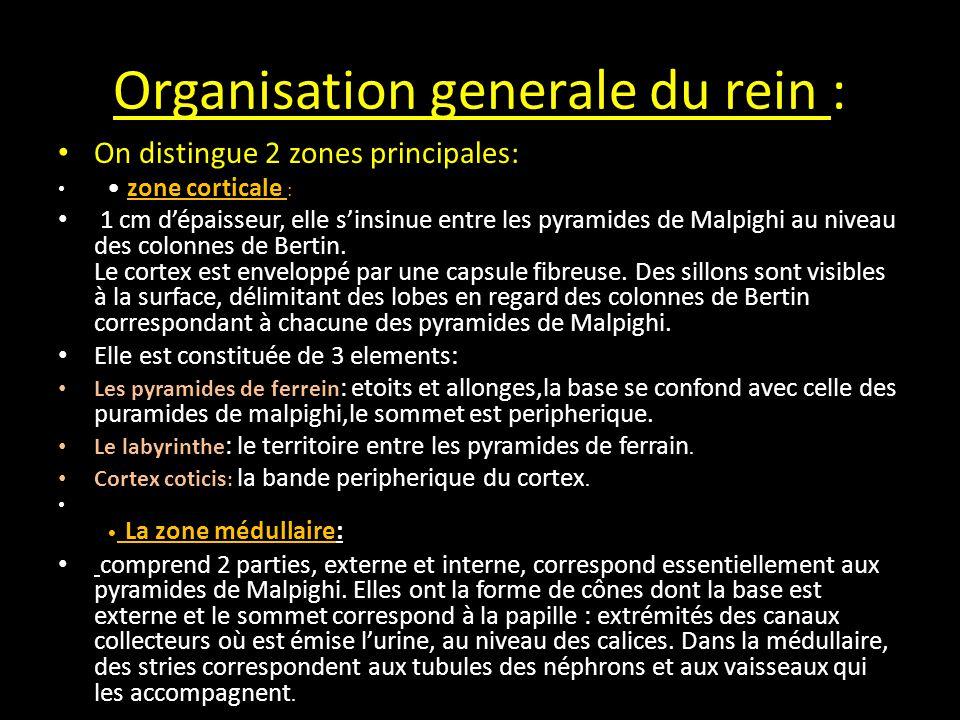 Organisation generale du rein : On distingue 2 zones principales: zone corticale : 1 cm d'épaisseur, elle s'insinue entre les pyramides de Malpighi au niveau des colonnes de Bertin.