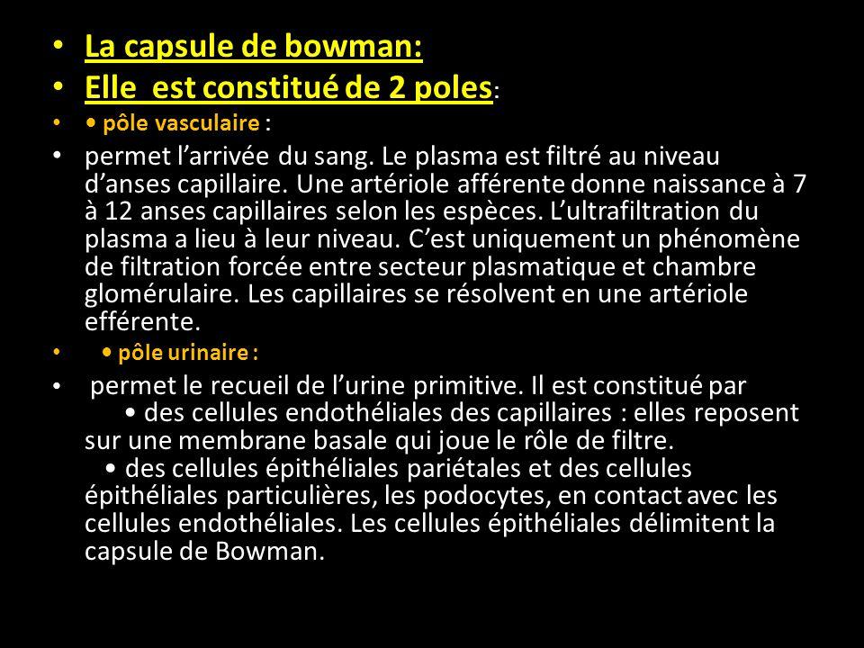 La capsule de bowman: Elle est constitué de 2 poles : pôle vasculaire : permet l'arrivée du sang.