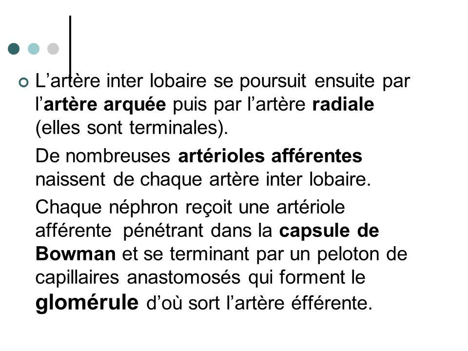 L'artère inter lobaire se poursuit ensuite par l'artère arquée puis par l'artère radiale (elles sont terminales). De nombreuses artérioles afférentes