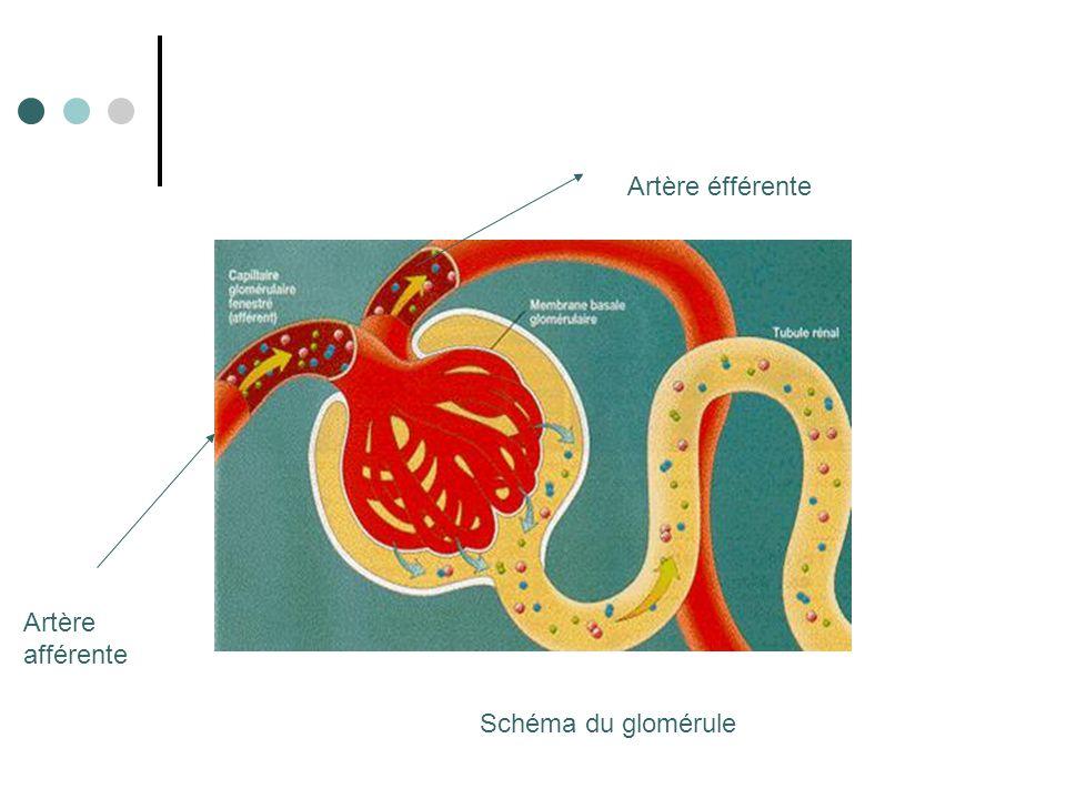 Les veines La veine rénale permet de ramener le sang à la veine cave.