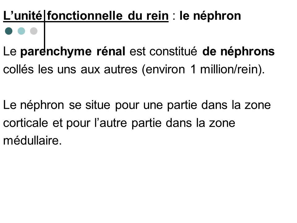 Localisation des néphrons au sein du parenchyme rénal