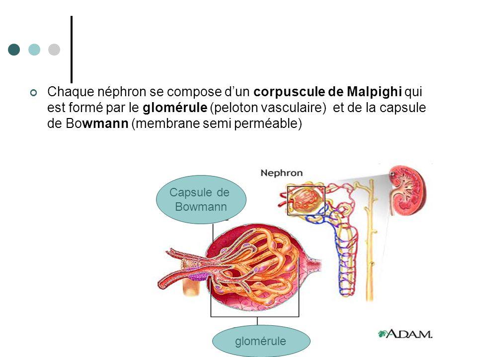 Le rôle essentiel du néphron est la filtration.