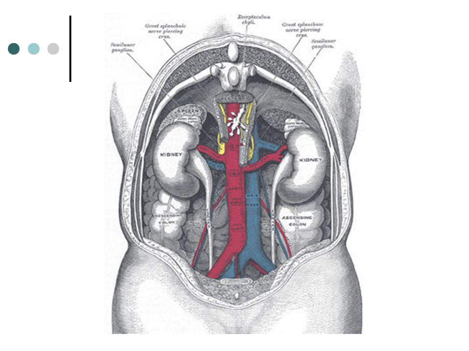 Aorte abdominale Veine cave inférieure Glande surrénale gauche Rein gauche Veine rénale Bassinet Uretère gauche Urètre vessie Artère (et veine) iliaques internes Artère (et veine) iliaques communes Uretère droit Artère rénale Rein droit Glande surrénale droite BAS APPAREIL HAUT APPAREIL