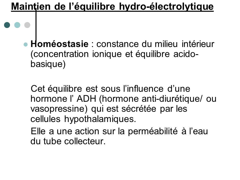 Sécrétion ADH Tube distal + collecteur = réabsorption d'eau