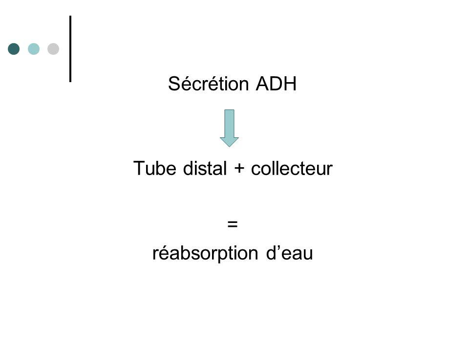 Si absence ADH Tube distal + collecteur = Excrétion eau +++ = ↑ du volume d'urine
