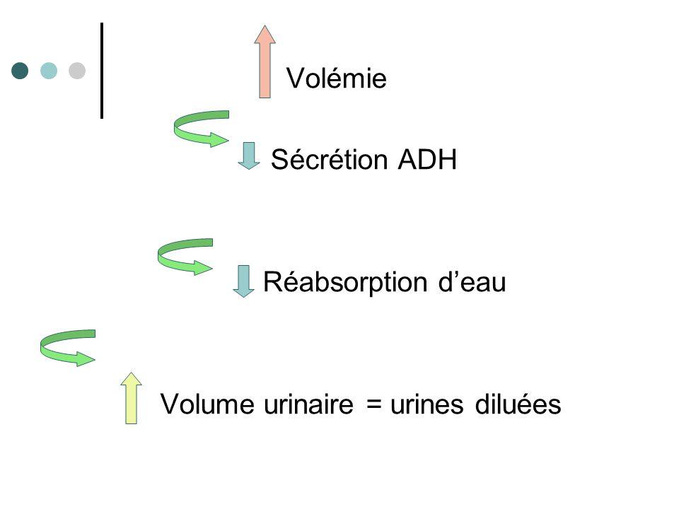 Volémie Sécrétion ADH Réabsorption d'eau Volume urinaire = urines concentrées