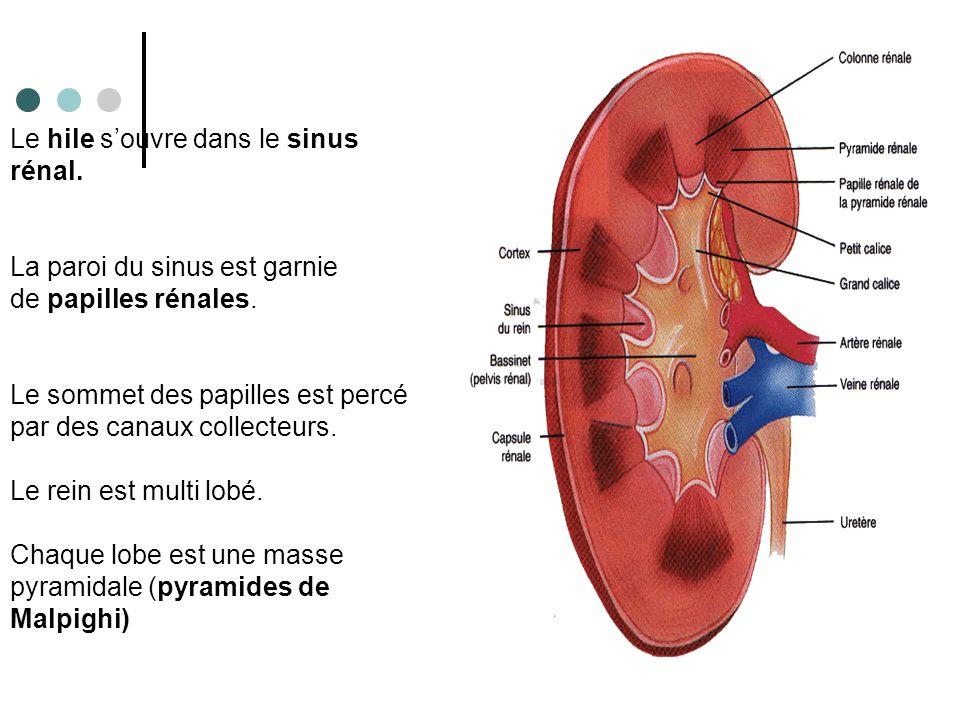Le tissu fonctionnel du rein se compose en 2 parties : - Zone corticale périphérique qui forme les colonnes de Bertin entre chaque pyramide.