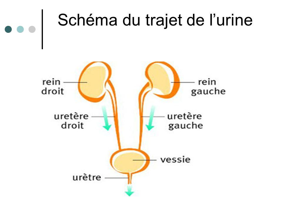 Progression de l'urine 1ère étape : le péristaltisme des uretères permet la progression de l'urine.
