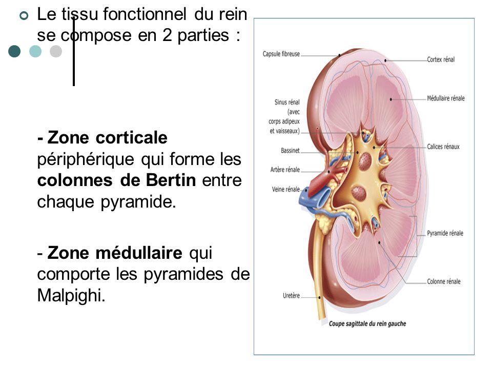 La vascularisation rénale Le rein est organe très vascularisé : 1700 l de sang /jour et / rein 900 l de plasma / jour