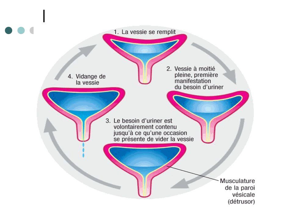 A l'inverse, le système sympathique assure le remplissage vésical en relâchant et assouplissant la vessie et en fermant le sphincter lisse.