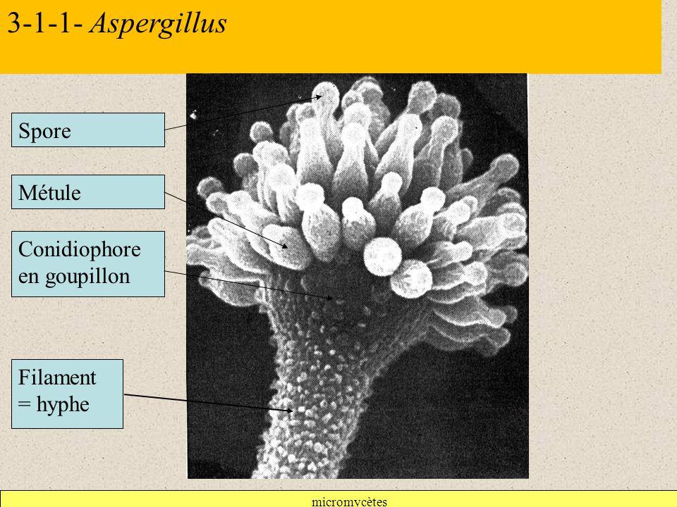 micromycètes 3-1-1- Aspergillus Conidiophore en goupillon Filament = hyphe Métule Spore