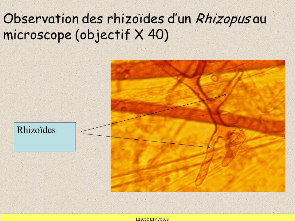 micromycètes Observation des rhizoïdes d'un Rhizopus au microscope (objectif X 40) Rhizoïdes
