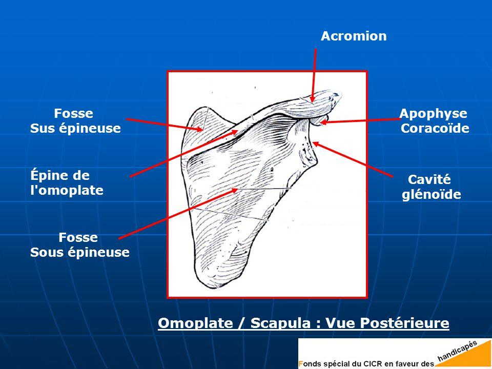 Épine de l omoplate Fosse Sus épineuse Fosse Sous épineuse Acromion Cavité glénoïde Apophyse Coracoïde Omoplate / Scapula : Vue Postérieure
