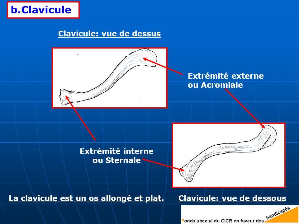 b.Clavicule Extrémité externe ou Acromiale Extrémité interne ou Sternale Clavicule: vue de dessus Clavicule: vue de dessousLa clavicule est un os allongé et plat.