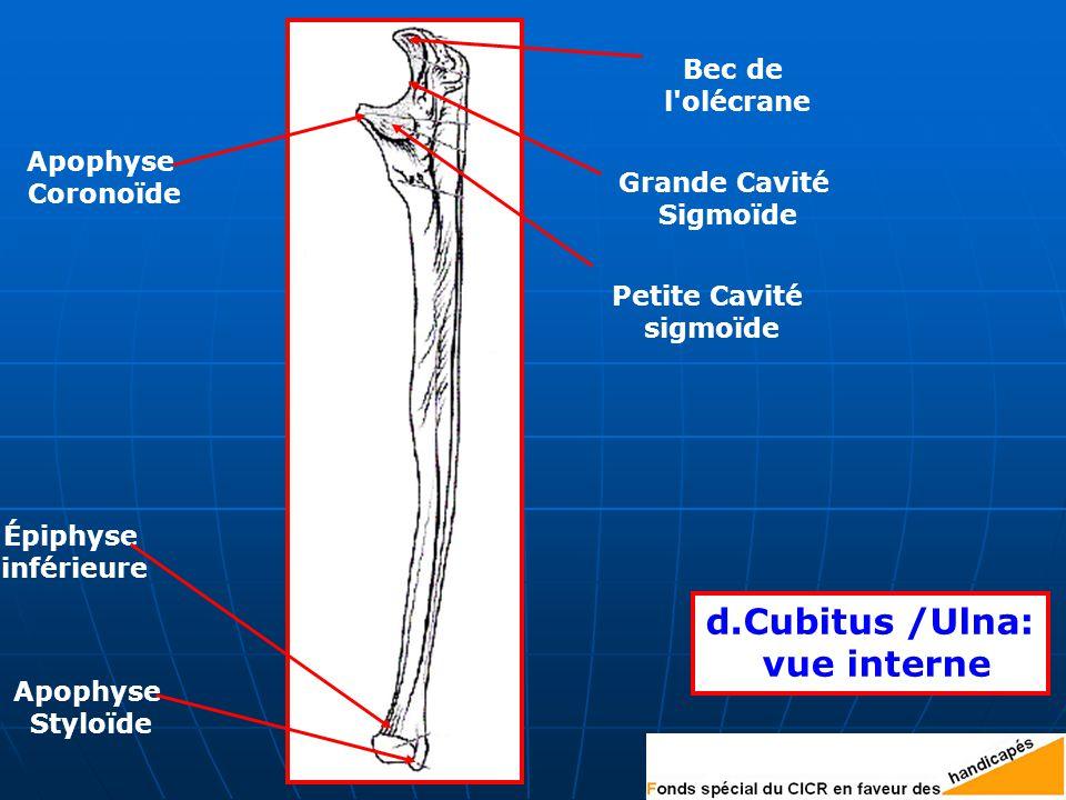 d.Cubitus /Ulna: vue interne Bec de l olécrane Grande Cavité Sigmoïde Petite Cavité sigmoïde Apophyse Coronoïde Épiphyse inférieure Apophyse Styloïde