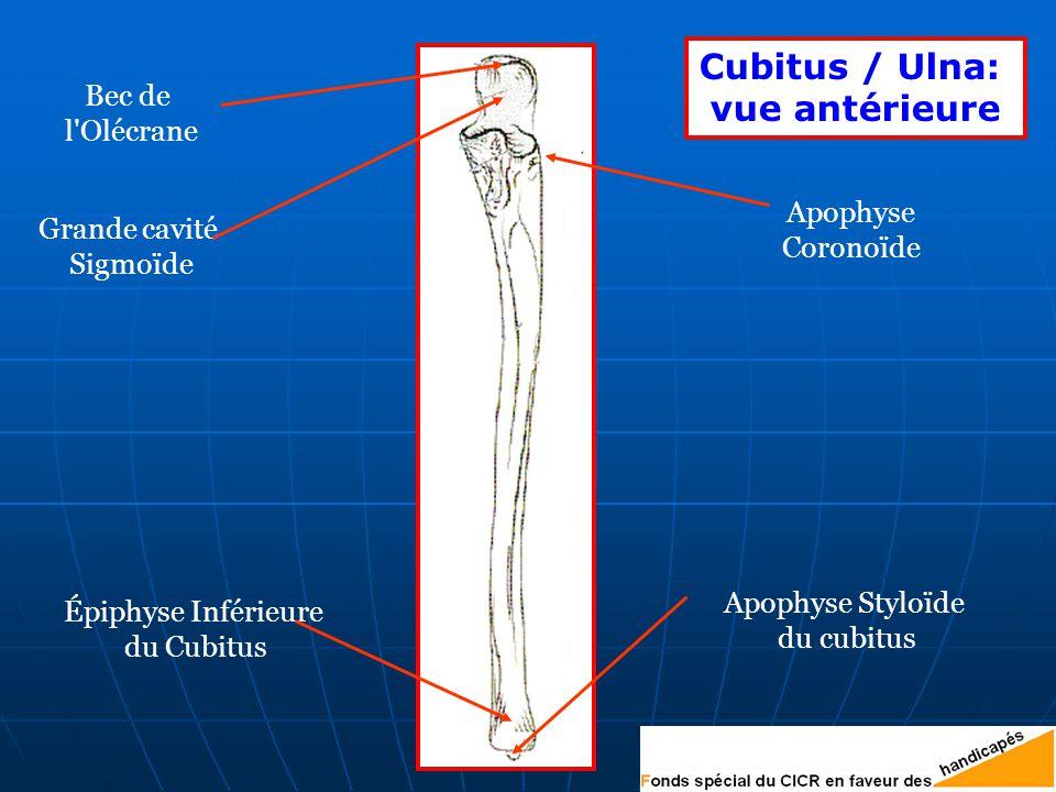 Cubitus / Ulna: vue antérieure Bec de l Olécrane Apophyse Coronoïde Apophyse Styloïde du cubitus Épiphyse Inférieure du Cubitus Grande cavité Sigmoïde