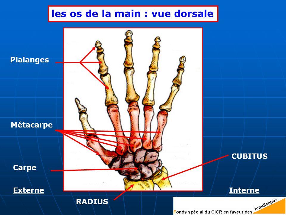 CUBITUS les os de la main : vue dorsale Carpe Plalanges Métacarpe ExterneInterne RADIUS
