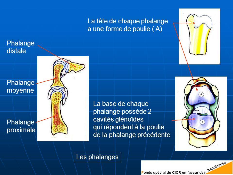 Phalange proximale Phalange moyenne Phalange distale La tête de chaque phalange a une forme de poulie ( A) La base de chaque phalange possède 2 cavités glénoïdes qui répondent à la poulie de la phalange précédente Les phalanges
