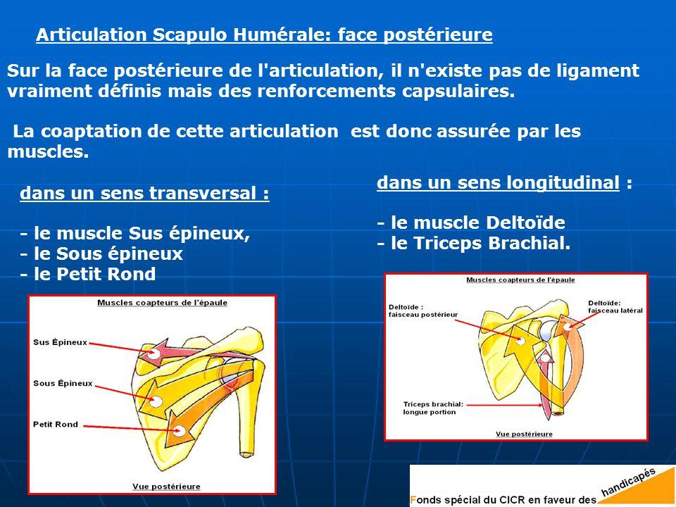 Articulation Scapulo Humérale: face postérieure Sur la face postérieure de l articulation, il n existe pas de ligament vraiment définis mais des renforcements capsulaires.