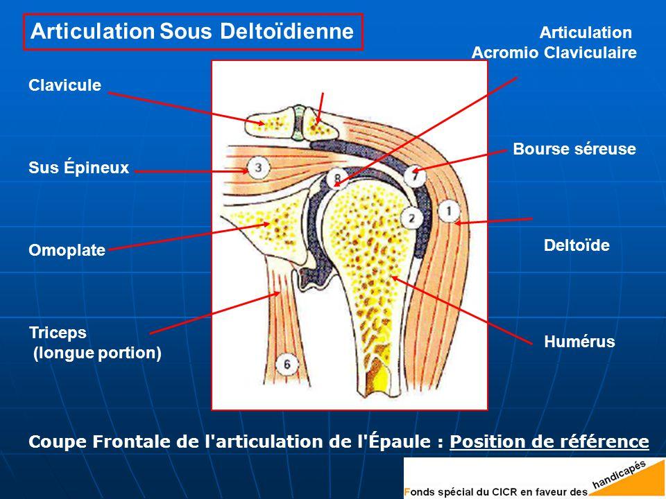 Sus Épineux Triceps (longue portion) Humérus Deltoïde Bourse séreuse Omoplate AcromionClavicule Articulation Acromio Claviculaire Coupe Frontale de l articulation de l Épaule : Position de référence Articulation Sous Deltoïdienne