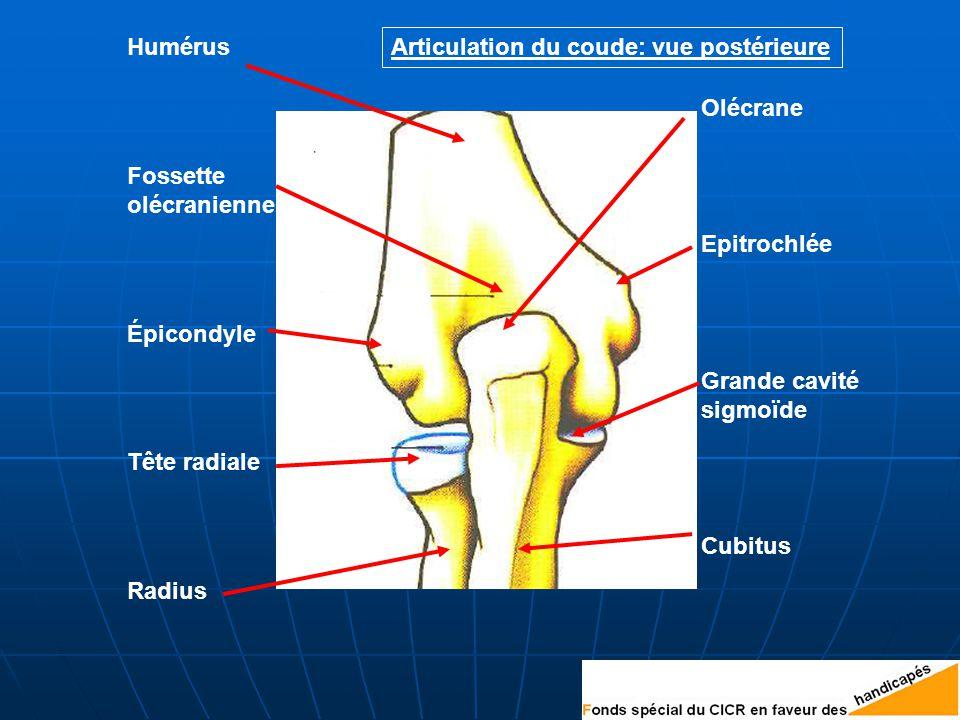 Articulation du coude: vue postérieure Épicondyle Epitrochlée Olécrane Humérus Radius Cubitus Tête radiale Grande cavité sigmoïde Fossette olécranienne