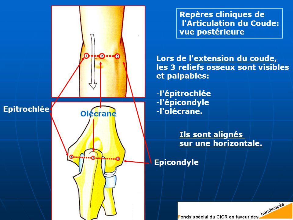 Repères cliniques de l Articulation du Coude: vue postérieure Epitrochlée Epicondyle Olécrane Lors de l extension du coude, les 3 reliefs osseux sont visibles et palpables: -l épitrochlée -l épicondyle -l olécrane.