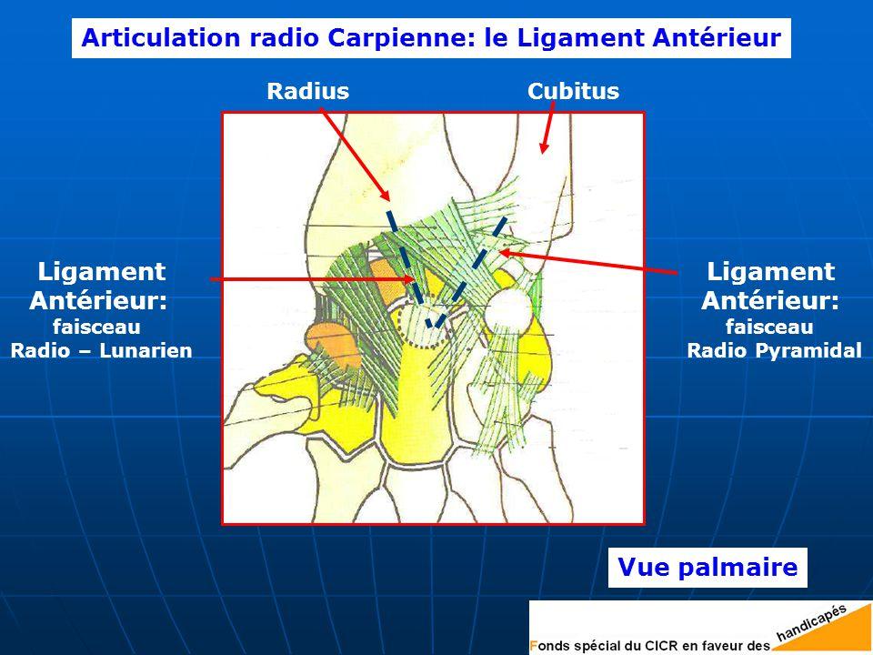 RadiusCubitus Ligament Antérieur: faisceau Radio – Lunarien Ligament Antérieur: faisceau Radio Pyramidal Vue palmaire Articulation radio Carpienne: le Ligament Antérieur