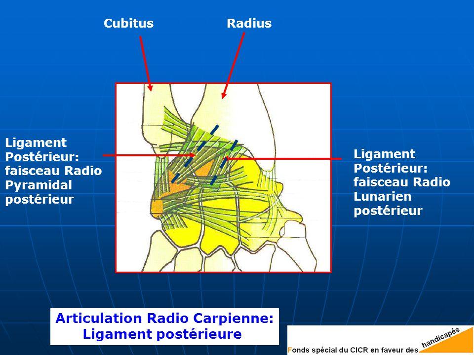 Articulation Radio Carpienne: Ligament postérieure Ligament Postérieur: faisceau Radio Pyramidal postérieur Ligament Postérieur: faisceau Radio Lunarien postérieur CubitusRadius