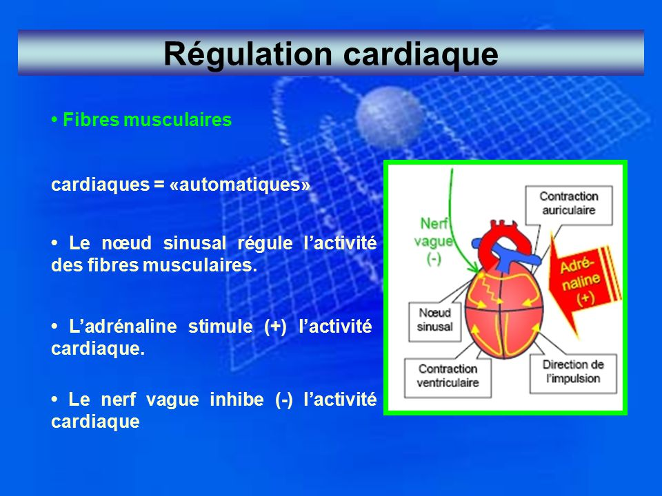 Régulation cardiaque Fibres musculaires cardiaques = «automatiques» Le nœud sinusal régule l'activité des fibres musculaires. L'adrénaline stimule (+)