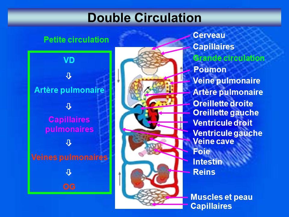 Double Circulation Petite circulation VD  Artère pulmonaire  Capillaires pulmonaires  Veines pulmonaires  OG Cerveau Capillaires Grande circulatio