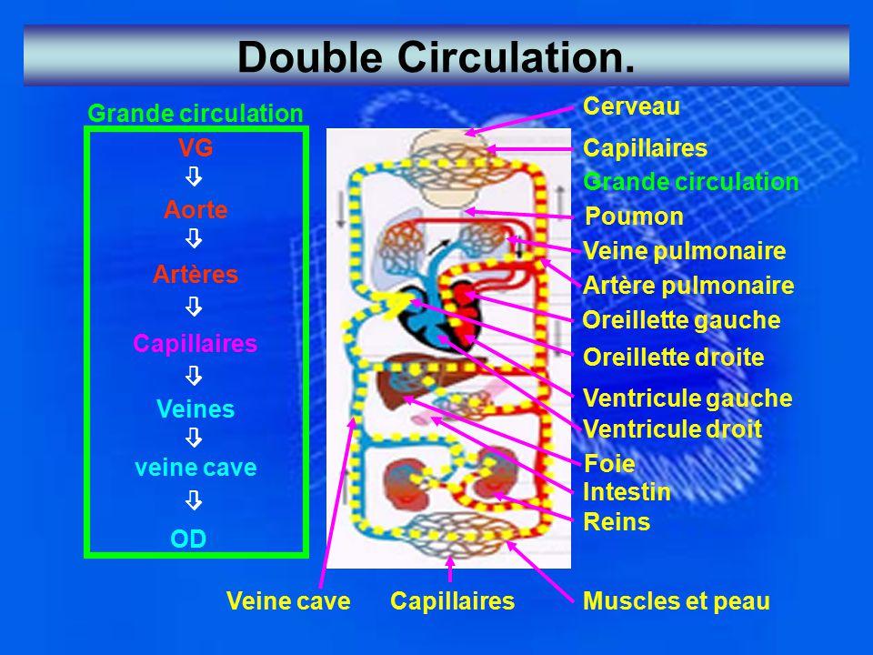 Double Circulation. Grande circulation VG  Aorte  Artères  Capillaires  Veines  veine cave  OD Muscles et peau Cerveau Capillaires Grande circul