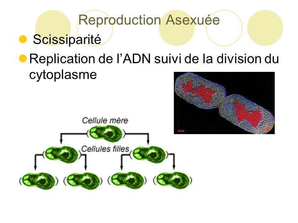 Reproduction Asexuée Scissiparité Replication de l'ADN suivi de la division du cytoplasme