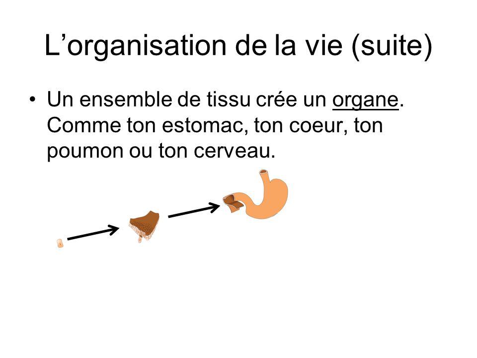 L'organisation de la vie (suite) Un ensemble de tissu crée un organe. Comme ton estomac, ton coeur, ton poumon ou ton cerveau.