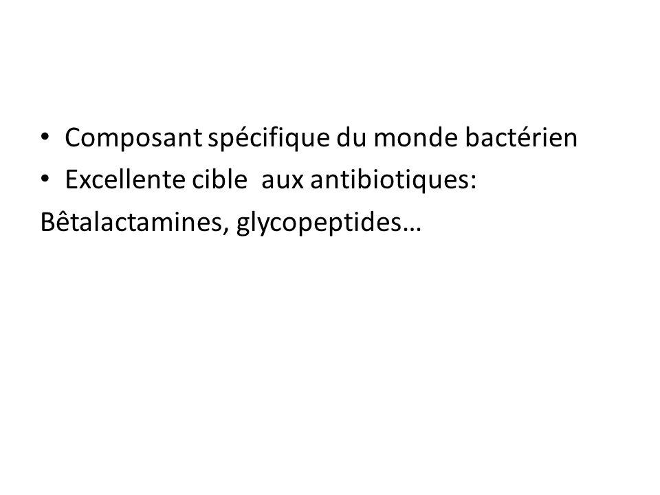 Composant spécifique du monde bactérien Excellente cible aux antibiotiques: Bêtalactamines, glycopeptides…