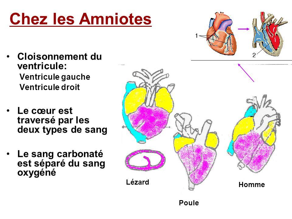 Respiration pulmonaire Double circulation Poumons coeur organes Le cœur est traversé par deux types de sang: le sang carbonaté et le sang oxygéné Petite circulation Circulation pulmonaire Grande circulation Circulation générale veineartère Système artériel Système veineux