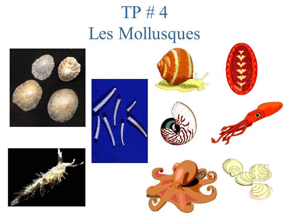 Dissection du Calmar (Céphalopodes)
