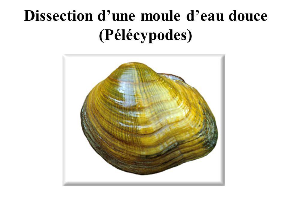 Dissection d'une moule d'eau douce (Pélécypodes)