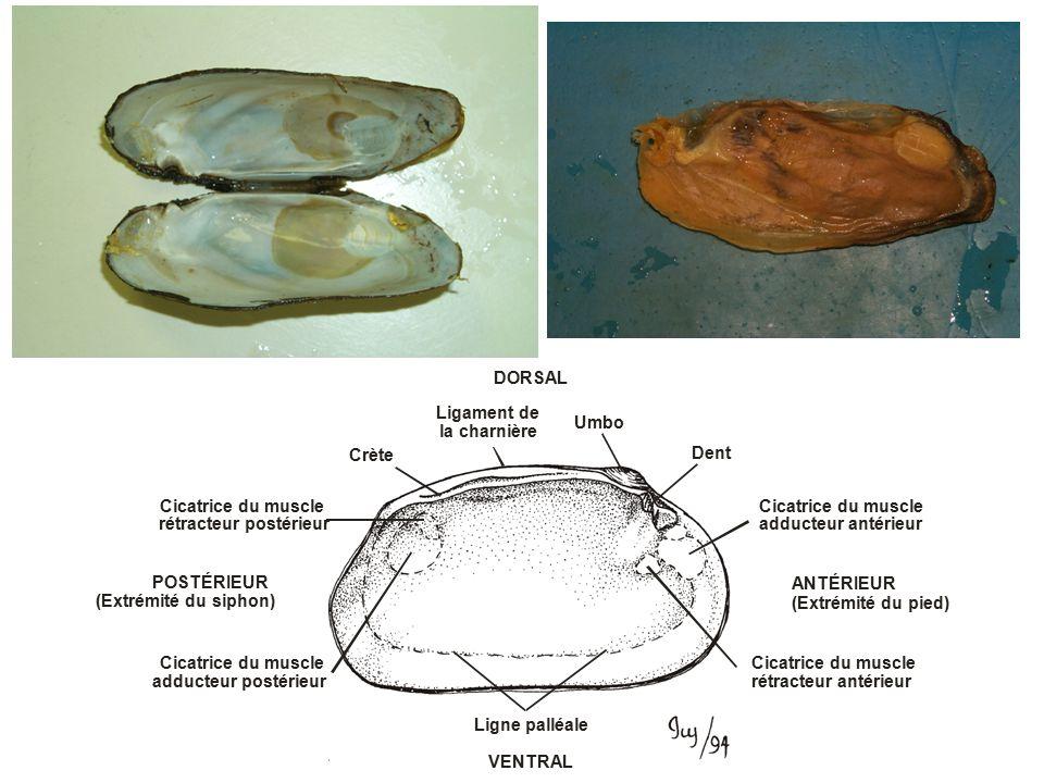 DORSAL VENTRAL Umbo Dent Cicatrice du muscle rétracteur antérieur ANTÉRIEUR (Extrémité du pied) Ligne palléale Cicatrice du muscle adducteur postérieur POSTÉRIEUR (Extrémité du siphon) Ligament de la charnière Cicatrice du muscle rétracteur postérieur Crète Cicatrice du muscle adducteur antérieur