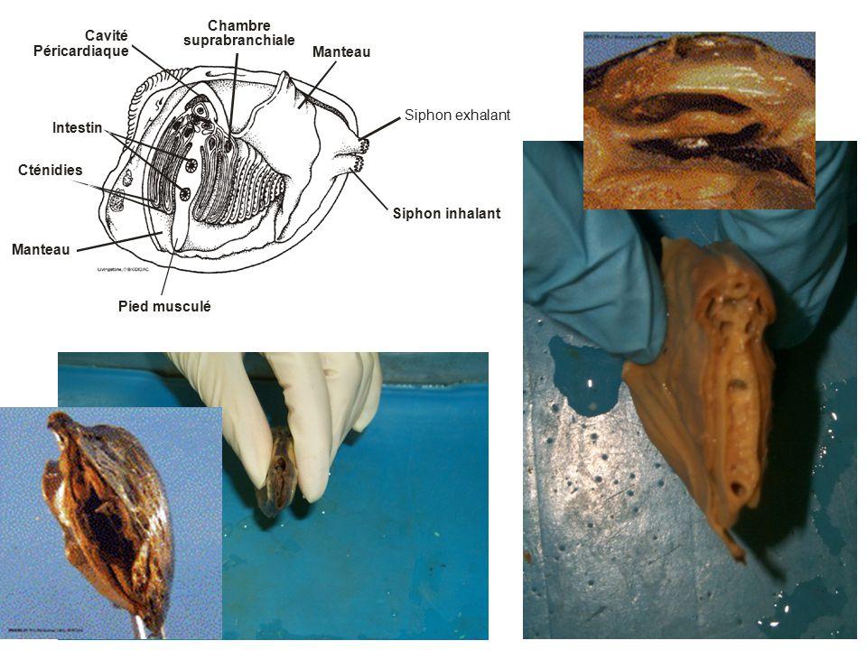 Cténidies Cavité Péricardiaque Intestin Manteau Pied musculé Siphon inhalant Siphon exhalant Manteau Chambre suprabranchiale
